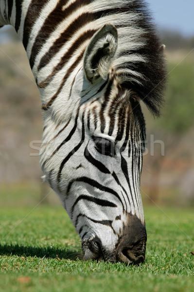 Grazing Zebra Stock photo © EcoPic