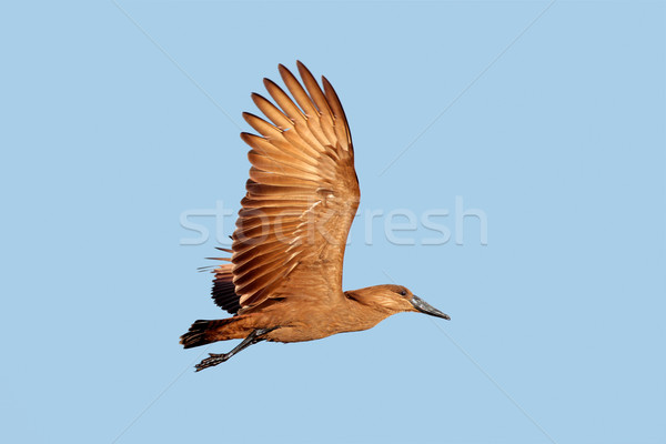 Hammerkop bird in flight Stock photo © EcoPic