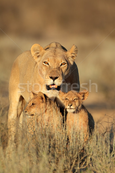 Stock photo: Lioness with cubs