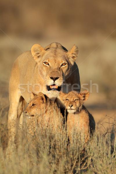 小さな ライオン 早朝 光 砂漠 南アフリカ ストックフォト © EcoPic