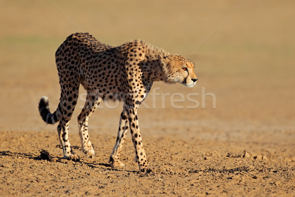 Alarm cheetah woestijn South Africa ogen kat Stockfoto © EcoPic