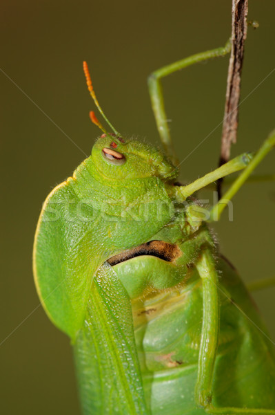 Hólyag szöcske portré zöld Dél-Afrika szem Stock fotó © EcoPic