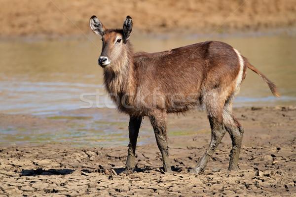 Błoto Południowej Afryki wody zwierząt Afryki safari Zdjęcia stock © EcoPic