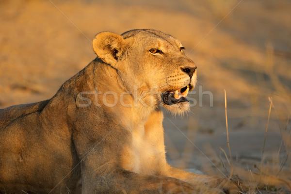 Agressif dents désert Afrique du Sud lion Photo stock © EcoPic