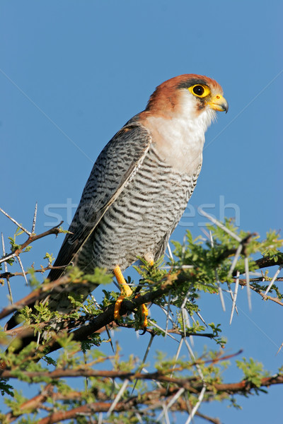 Rednecked falcon Stock photo © EcoPic