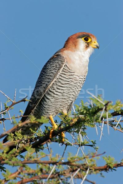 Falcon ramo parco Namibia cielo occhi Foto d'archivio © EcoPic