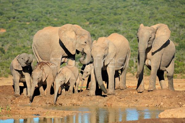 African elephant family Stock photo © EcoPic