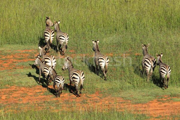 Hartmanns Mountain Zebras Stock photo © EcoPic