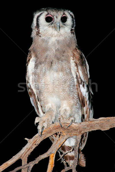 Giant eagle owl Stock photo © EcoPic