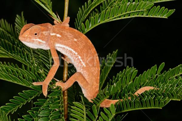 Caméléon laisse africaine arbre Afrique du Sud nature Photo stock © EcoPic