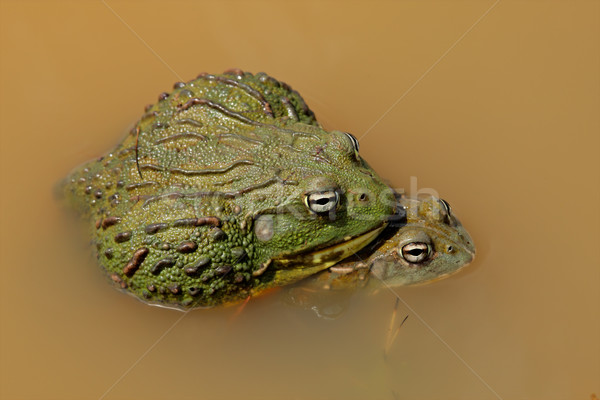 Mating African giant bullfrogs Stock photo © EcoPic