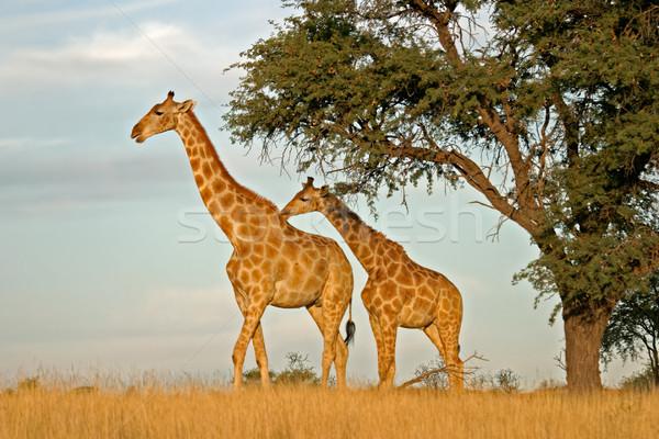 Giraffen twee kameel doorn boom South Africa Stockfoto © EcoPic