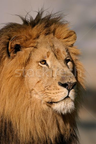 Groot mannelijke leeuw portret afrikaanse South Africa Stockfoto © EcoPic