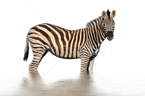 Isolated zebra with water reflection Stock photo © EcoPic