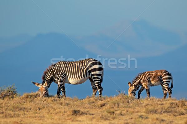 Hegy zebrák zebra kanca csikó park Stock fotó © EcoPic