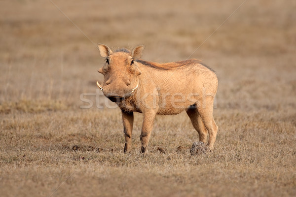 Warthog Stock photo © EcoPic