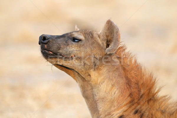 Spotted hyena Stock photo © EcoPic