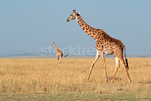 Masai giraffes Stock photo © EcoPic