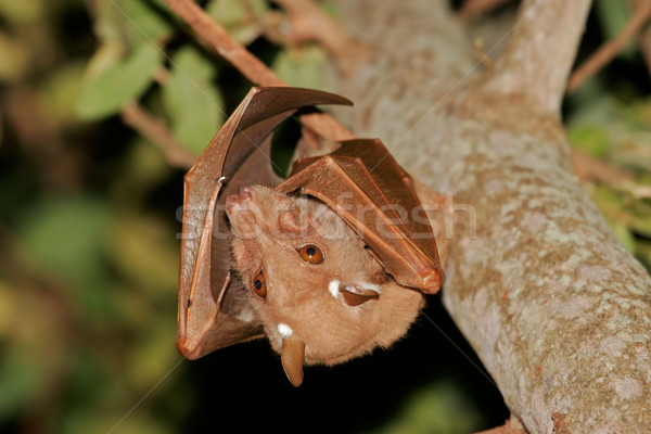 Gambian epauletted fruit bat Stock photo © EcoPic