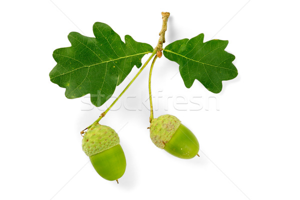 Eiken bladeren tak eik boom vruchten Stockfoto © EcoPic