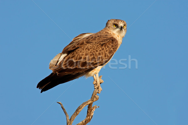 Black-breasted snake eagle Stock photo © EcoPic