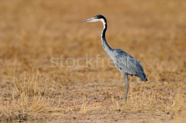 цапля охота ЮАР трава птица ног Сток-фото © EcoPic