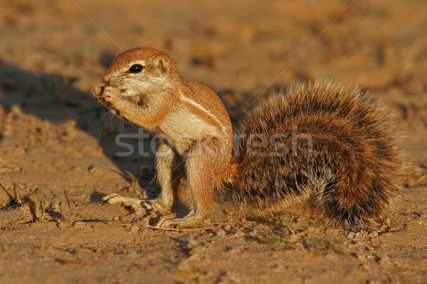 Ground squirrel Stock photo © EcoPic