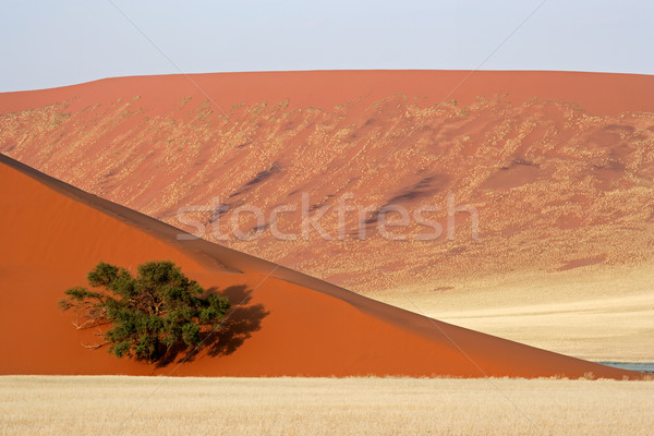 Dune, tree and grass Stock photo © EcoPic