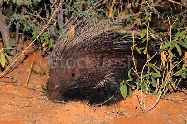 Cape porcupine Stock photo © EcoPic