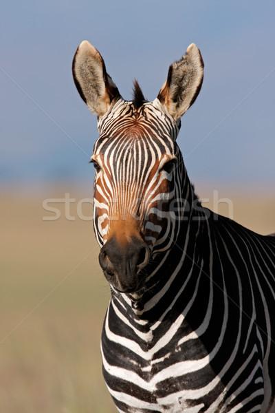 Cape Mountain Zebra portrait Stock photo © EcoPic
