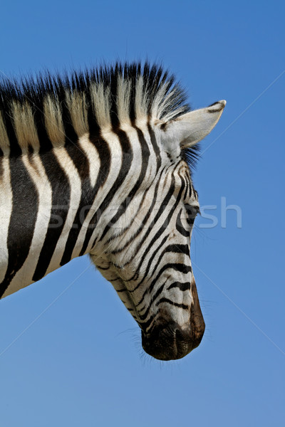 平野 シマウマ 肖像 公園 南アフリカ 顔 ストックフォト © EcoPic
