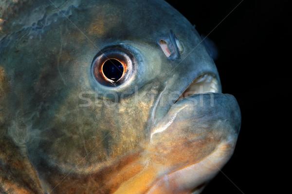 Piranha peixe retrato olho boca dentes Foto stock © EcoPic
