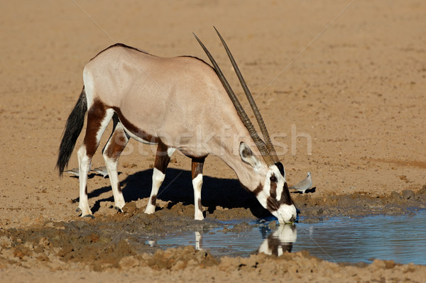 Drinkwater woestijn South Africa water natuur dier Stockfoto © EcoPic