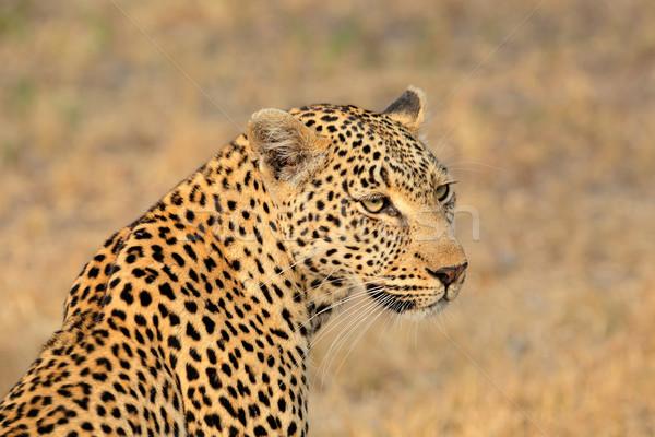 Leopard portrait nature réserve Afrique du Sud yeux Photo stock © EcoPic