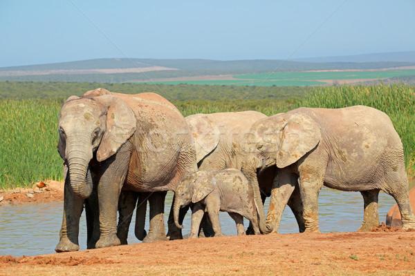 African elephants at waterhole Stock photo © EcoPic