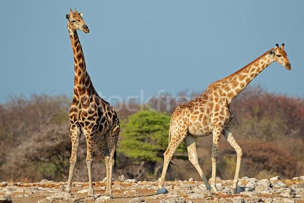 Zürafalar doğal yetişme ortamı park Namibya gökyüzü Stok fotoğraf © EcoPic