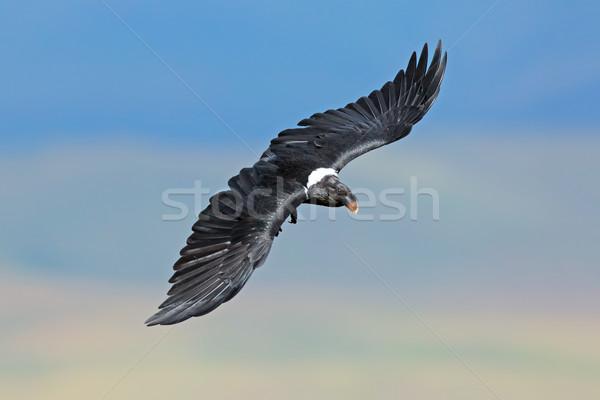 Kuzgun uçuş Güney Afrika doğa Afrika kanatlar Stok fotoğraf © EcoPic