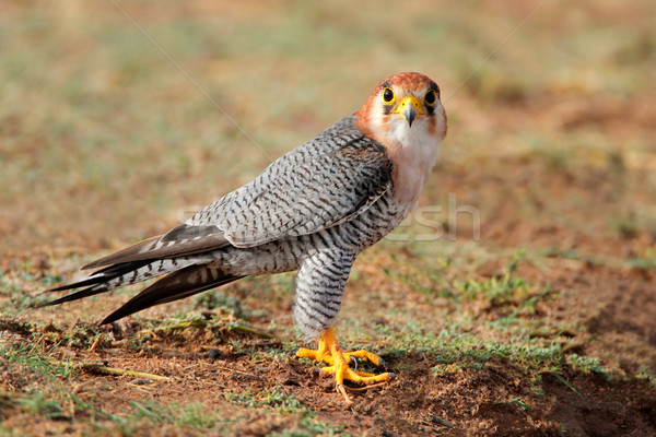 Halcón sesión suelo desierto Sudáfrica aves Foto stock © EcoPic