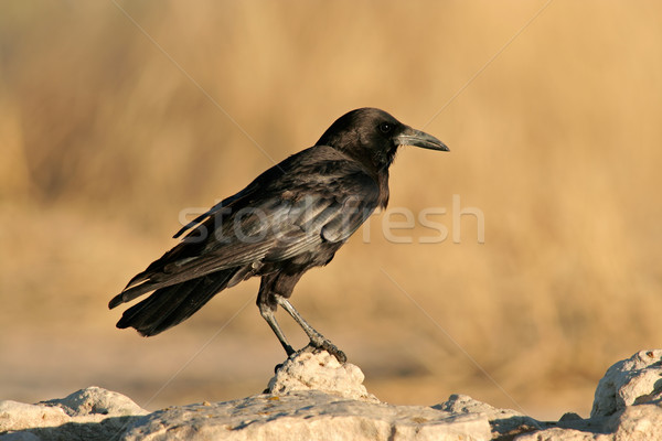 Black crow Stock photo © EcoPic