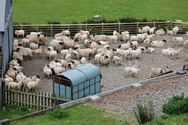 Irish mountain sheep Stock photo © EcoPic