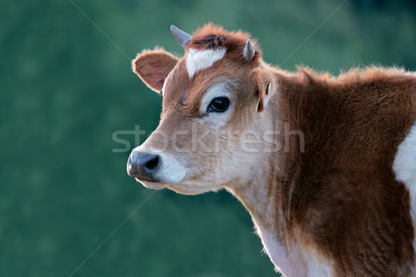 Cow portrait Stock photo © EcoPic