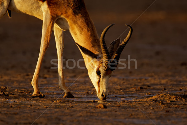 Stock photo: Drinking springbok antelope
