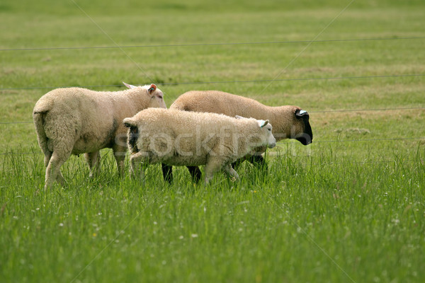 Sheep on pasture Stock photo © EcoPic