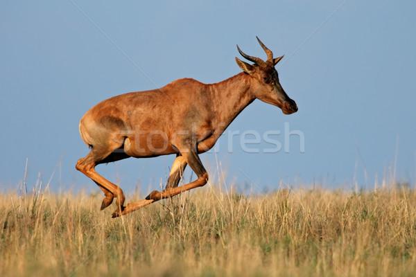 Running Tsessebe antelope Stock photo © EcoPic