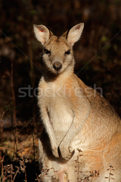 Agile Wallaby Stock photo © EcoPic