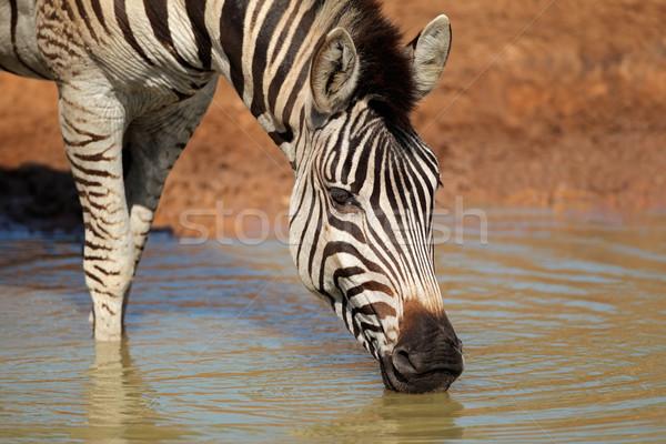 平野 シマウマ 飲料 飲料水 ゲーム リザーブ ストックフォト © EcoPic