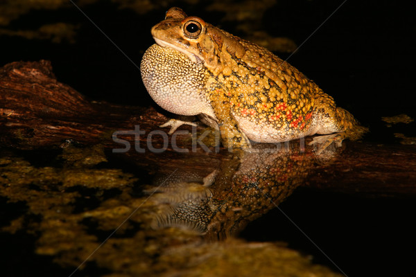Olive toad calling Stock photo © EcoPic