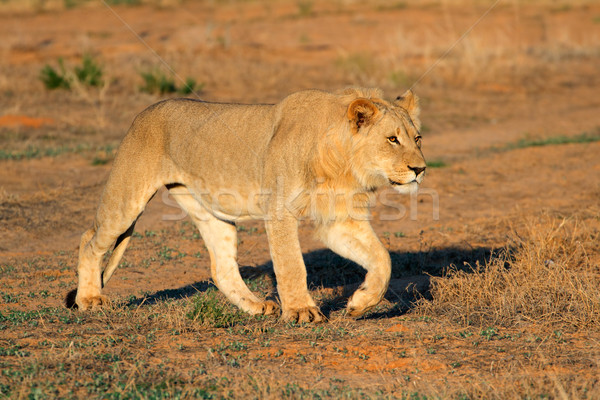 African lion stalking Stock photo © EcoPic