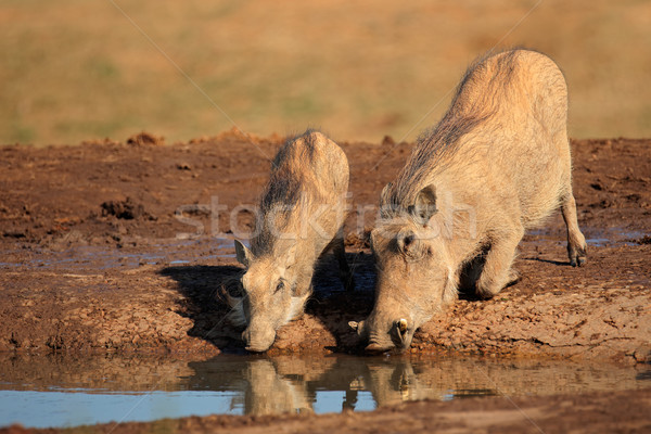 Warthogs drinking Stock photo © EcoPic