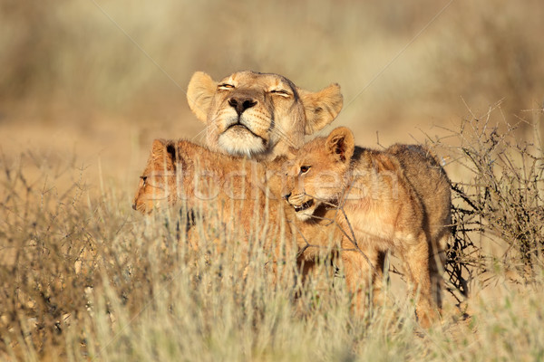 Lioness with cubs Stock photo © EcoPic
